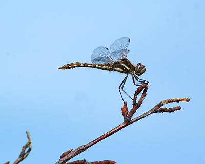 Photograph - Beautiful Dragonfly by Ben Upham III