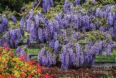 Photograph - Beautiful Wisteria by Fran Woods