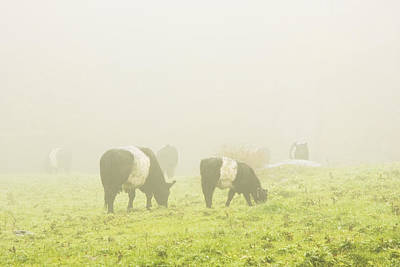 Maine Meadow Photograph - Belted Galloway Cows Grazing On Foggy Farm Field Maine by Keith Webber Jr