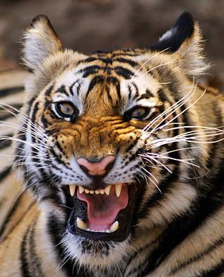 Bengal Tiger (panthera Tigris) Art Print by Louise Murray