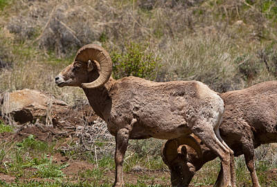 Photograph - Bighorn Sheep by Peter Skiba