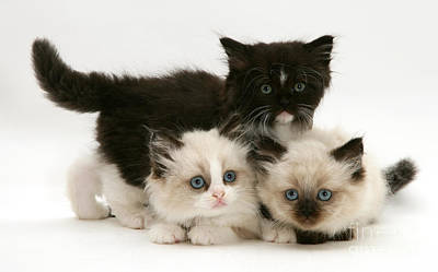 Photograph - Birman-persian Kittens by Jane Burton