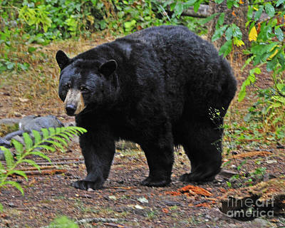 Photograph - Black Bear by Jack Moskovita
