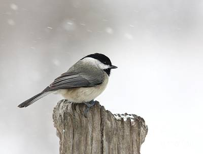 Art Print featuring the photograph Black-capped Chickadee by Jack R Brock