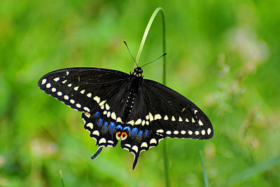 Photograph - Black Swallowtail by Alan Lenk