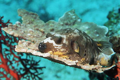 Blackspotted Photograph - Blackspotted Pufferfish by Georgette Douwma