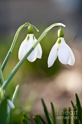 Snowdrops Wall Art - Photograph - Blooming Snowdrops by Elena Elisseeva