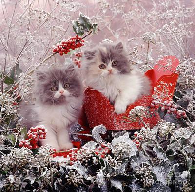 Animal Portraiture Photograph - Blue Bicolor Persian Kittens by Jane Burton