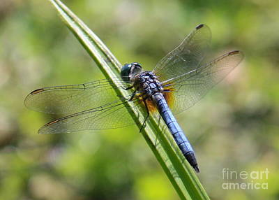 Dragonfly Photograph - Blue Darner On Green Reed by Carol Groenen