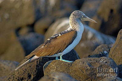 Blue-footed Booby  Print by Sami Sarkis