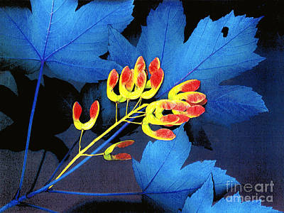 Photograph - Blue Maple Leaf by Bill Thomson