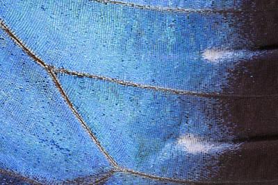 Photograph - Blue Morpho Morpho Peleides Butterfly by Ingo Arndt