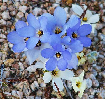 Photograph - Rare Blue Parry Gilia by Michele Penner