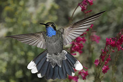 Flash Photograph - Blue Throated Hummingbird by Gregory Scott