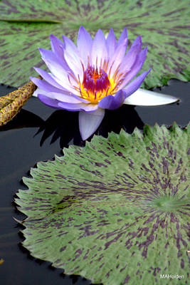 Blue Water Lily Original