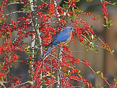 Photograph - Bluebird In Yaupon Holly Tree by Jeanne Kay Juhos