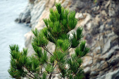 Photograph - Bokeh Of Evergreen  by Harvey Barrison