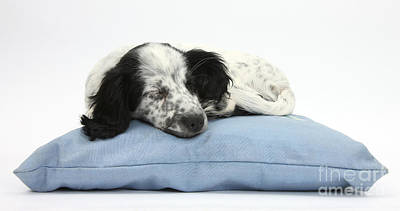 Border Collie X Cocker Sleeping Puppy Art Print by Mark Taylor