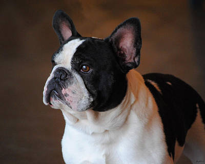 Photograph - Boston Terrier by Jai Johnson