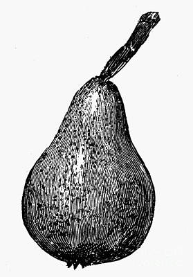 Botany: Pear Art Print by Granger