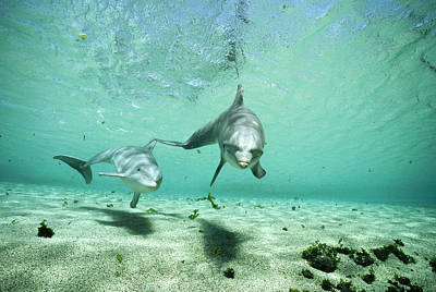 Bottlenose Dolphin Pair Hawaii Art Print