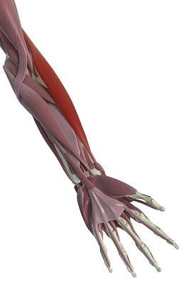 Bicep Photograph - Brachioradialis by MedicalRF.com