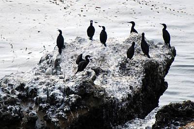 Photograph - Brandt's Cormorants by Harvey Barrison