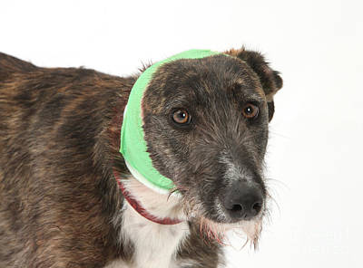 Brindle Lurcher Wearing A Bandage Print by Mark Taylor
