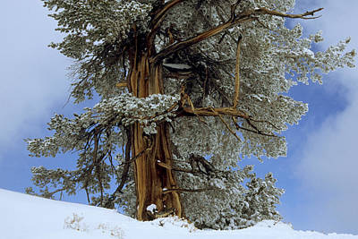 Bristlecone Pine Tree Blanketed In Snow Art Print by Tim Laman