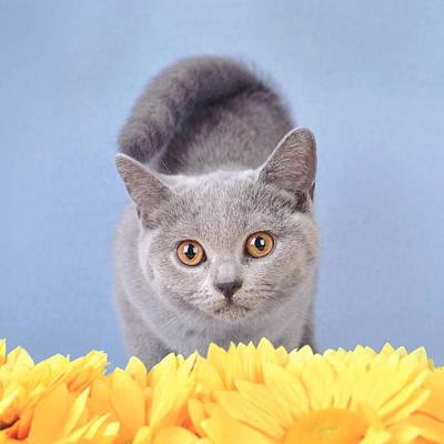 British Shorthair Kitten Art Print by Waldek Dabrowski