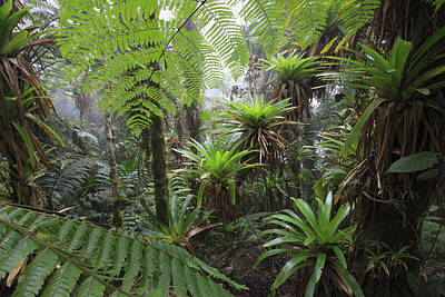 Epiphyte Photograph - Bromeliad Bromeliaceae And Tree Fern by Cyril Ruoso