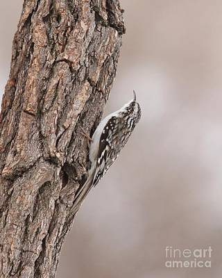 Photograph - Brown Creeper by Jack R Brock
