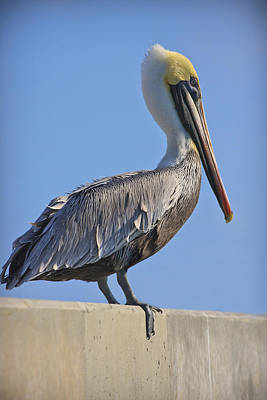 Feathers Photograph - Brown Pelican by Adam Romanowicz