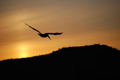 Photograph - Brown Pelican At Sunset by Harvey Barrison