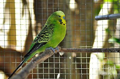 Photograph - Budgerigar - Parakeet by Kaye Menner