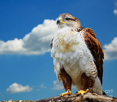 Ferruginous Hawk Photograph - Buteo Regalis by Gabriela Insuratelu