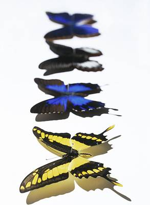 Papilio Thoas Photograph - Butterflies by Lawrence Lawry