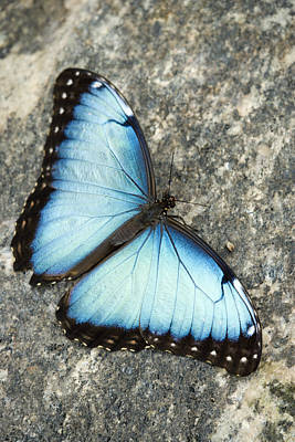 Without People Photograph - Butterfly, Niagara Botanical Gardens by Darwin Wiggett
