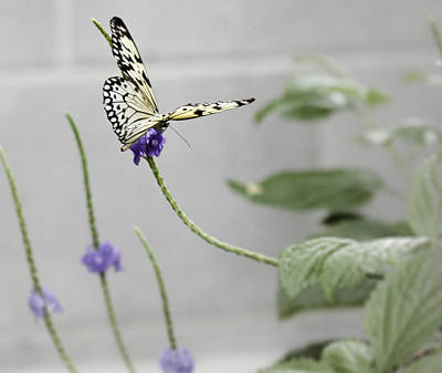 Art Print featuring the photograph Butterfly by Nick Mares