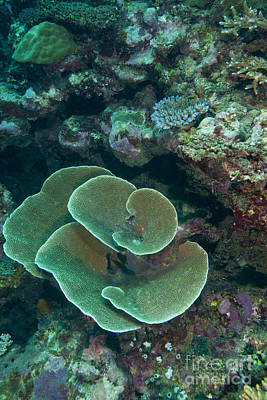 Undersea Photograph - Cabbage Coral Amongst Other Corals by Michael Wood