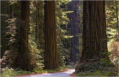 Photograph - California Redwoods by Gary Rose