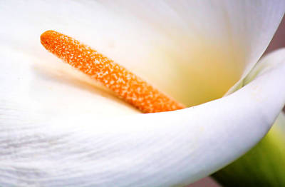 Winter Wedding Flowers Photograph - Calla Lily by Karen Scovill