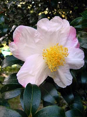 Camellia Beauty Original
