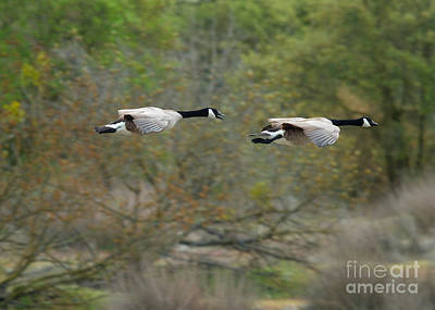 Art Print featuring the photograph Canada Geese by Doug Herr