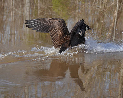 Nesting Photograph - Canada Goose Landing C0255a by Paul Lyndon Phillips