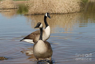 Photograph - Canadian Geese by Pamela Walrath