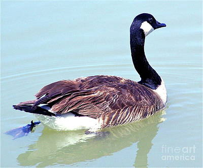 Photograph - Canadian Goose by Pamela Walrath