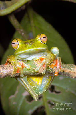 Photograph - Canal Zone Tree Frog by Dante Fenolio