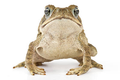 Bufonidae Photograph - Cane Toad La Selva Costa Rica by Piotr Naskrecki