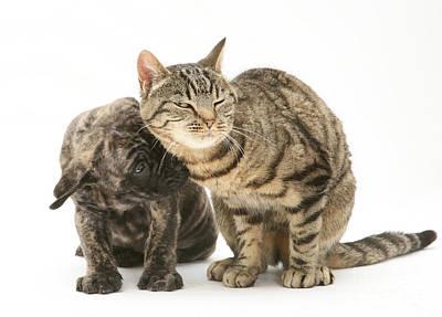 Mastiff Pup Photograph - Cat And Mastiff Pup by Jane Burton